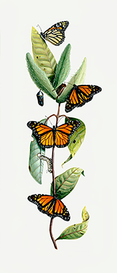 Milkweed and Butterfly Illumination from the Bible